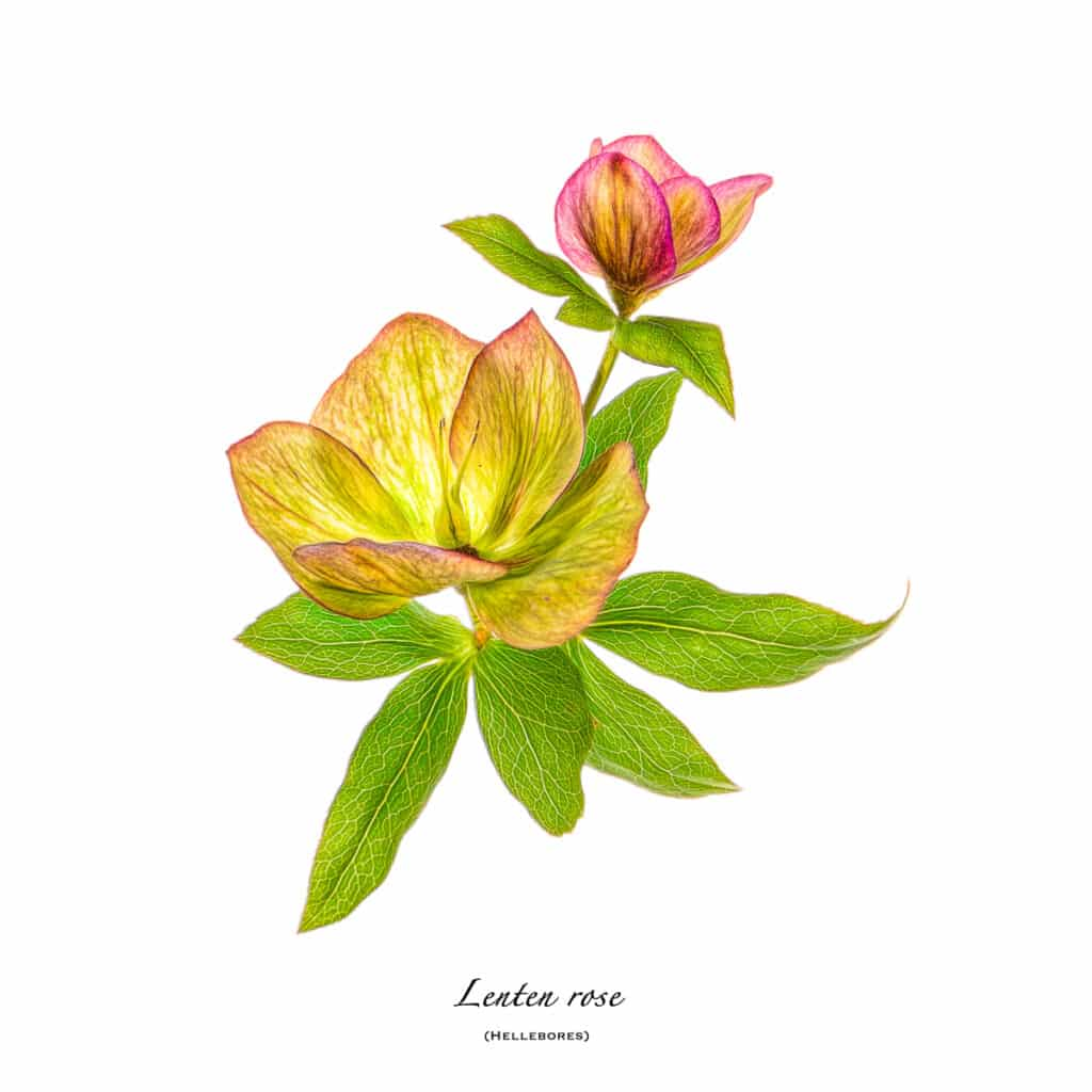 A portrait of an early spring Lenten Rose (hellebores) from our garden on white background.