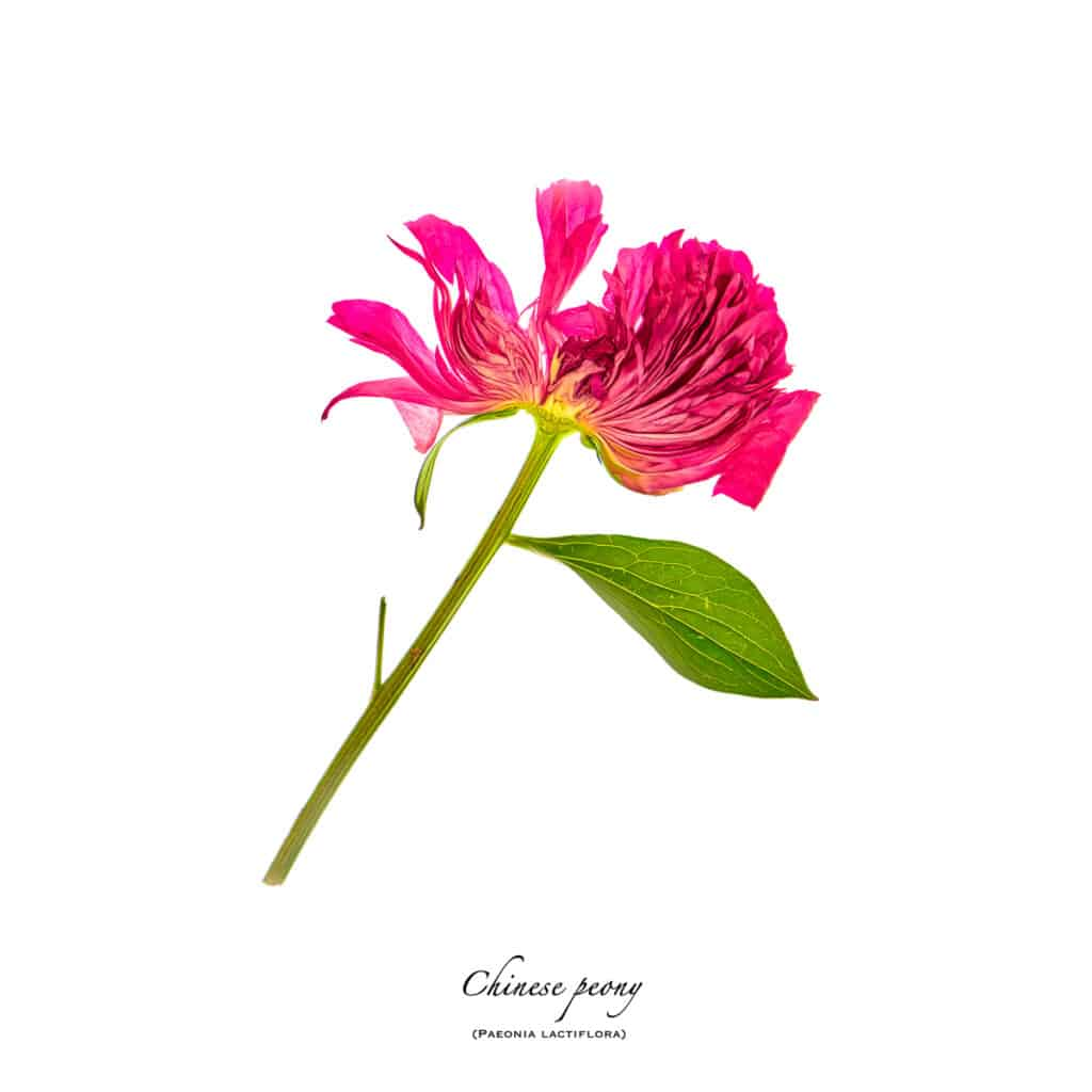 Portrait of a sliced peony blossom on a white background.