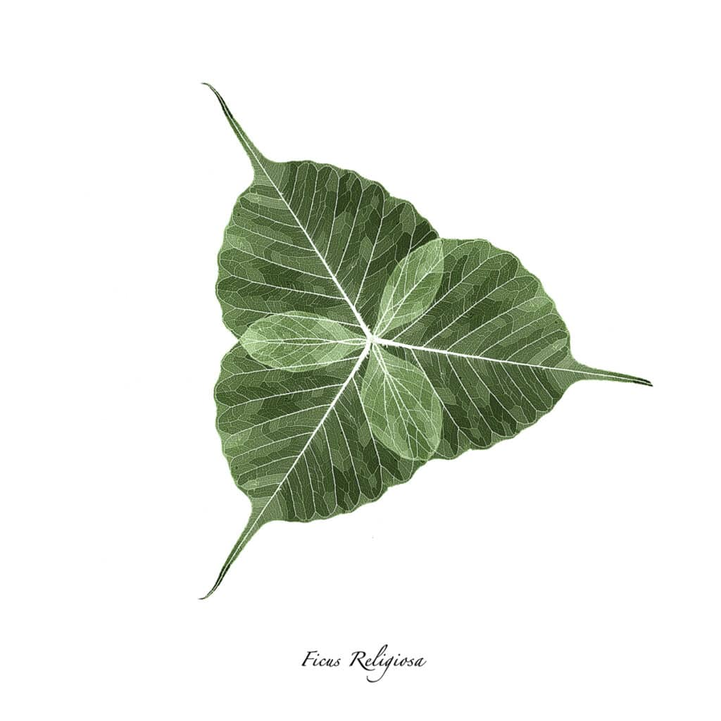 Three skeletonized Ficus Religiosa leaves overlapped to make a trefoil on a white background.
