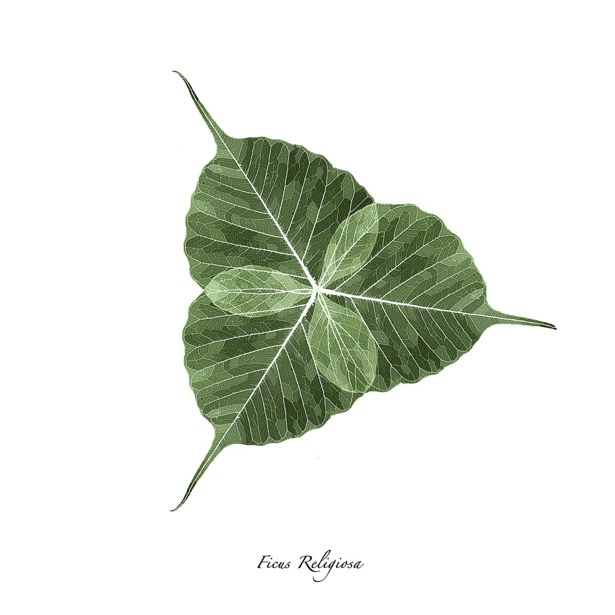 Three skeletonized Ficus Religiosa leaves overlapped to make a trefoil on a white background. Part of my botanical portraits collection.