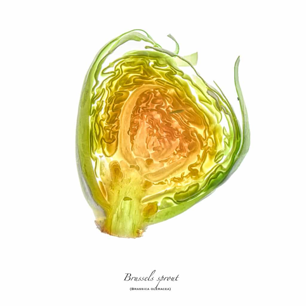 Light shines through this slice of a Brussels Sprout (Brassica oleracea) on a white background.