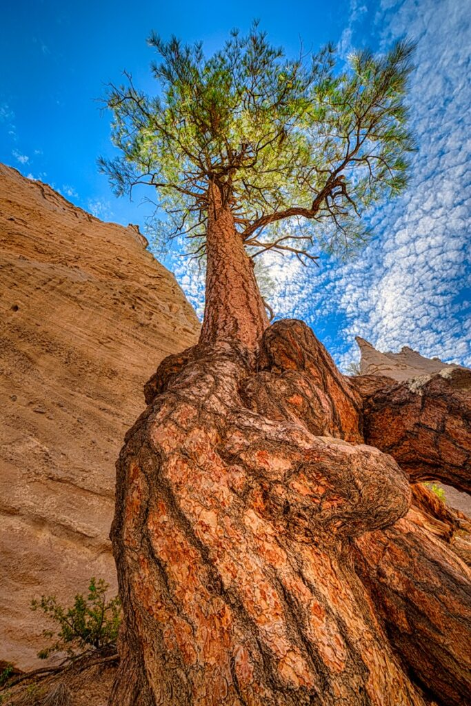A single Ponderosa pine tree grows in the volcanic tuff amid the tent formations in Kasha-Katuwe Tent Rocks National Monument in northern New Mexico.