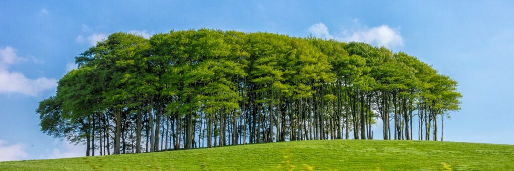 A stately grouping of trees in a field along the A30 spur road in Devonshire, England