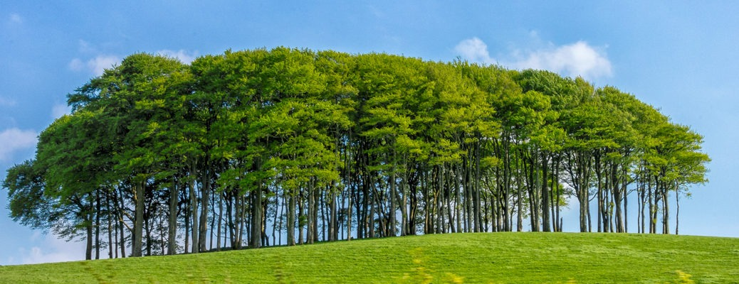 In the English countryside stands this stately grouping of trees in a field along the A30 spur road in Devonshire, England.