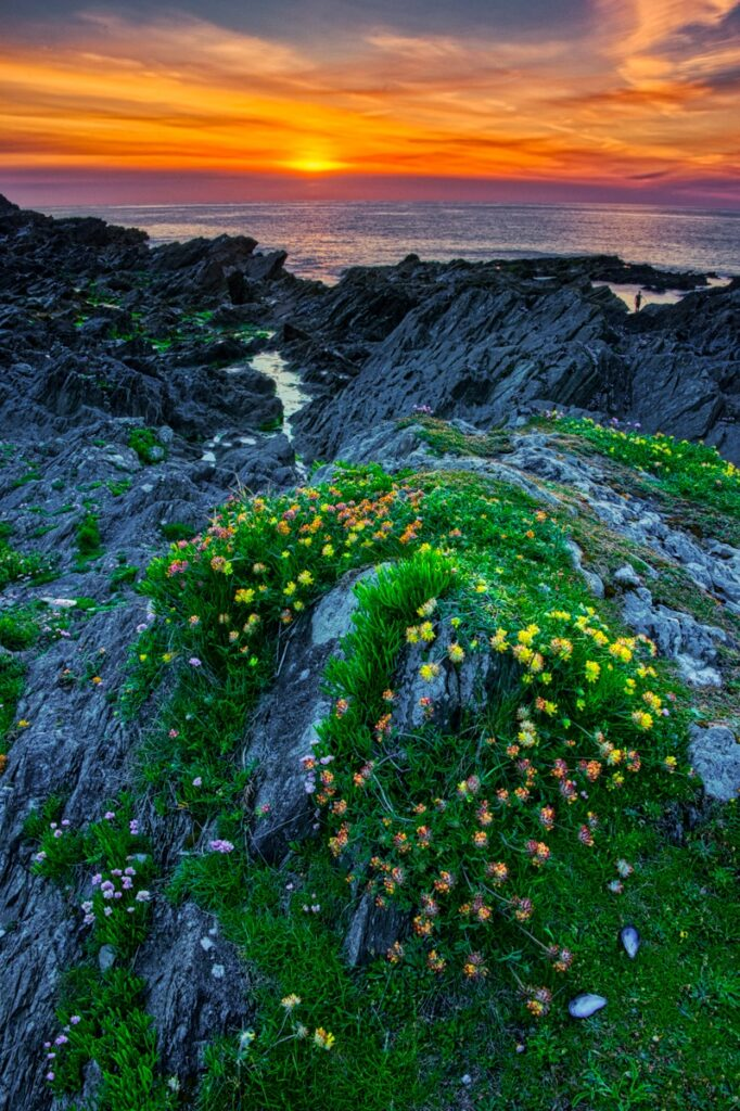 The sun sets along the coast of Finstal Bay near Newquay in Cornwall, England. Kidney Vetch, Anthyllis vulneraria, and thrift flowers are seen in the foreground.