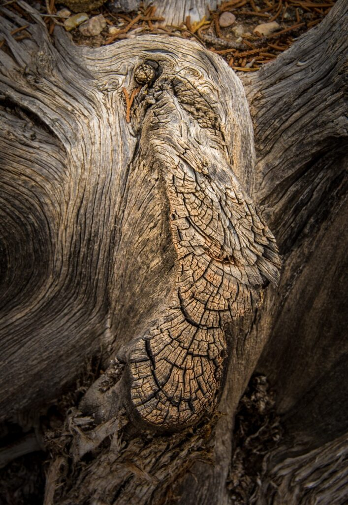 This is the root of an ancient juniper tree on the rim of the Rio Grande Gorge in Wild Rivers Recreation Area near Questa, New Mexico.