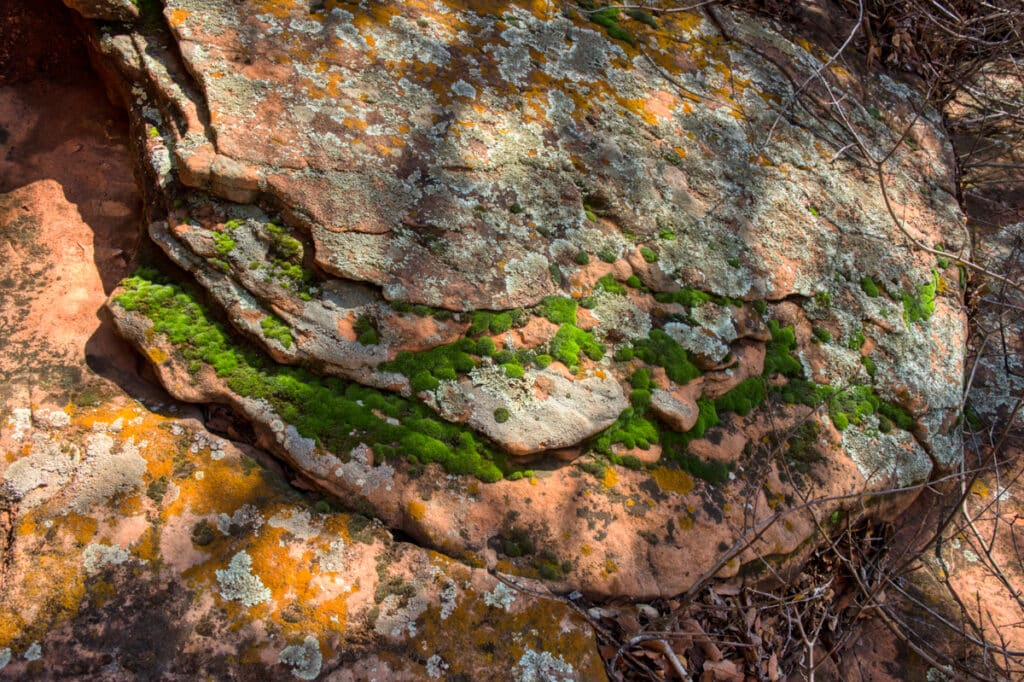 Bright green moss grows on a sandstone boulder along the trail to the pictographs at Palatki Heritage Site near Sedona, Arizona.