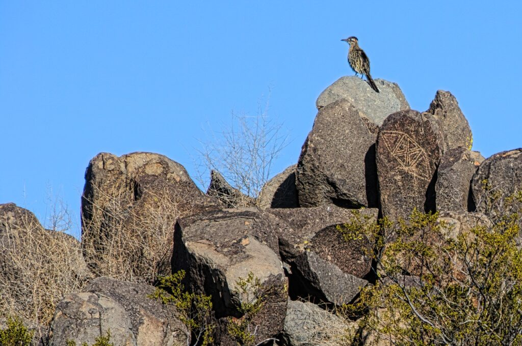 A Roadrunner sits among the petroglyphs at Three Rivers Petroglyph Site north of Alamogordo, New Mexico.