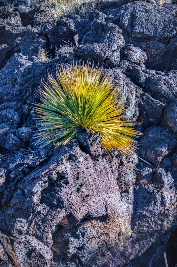 A yucca plant grows out of the lava in Valley of Fires, near Alamogordo, New Mexico.