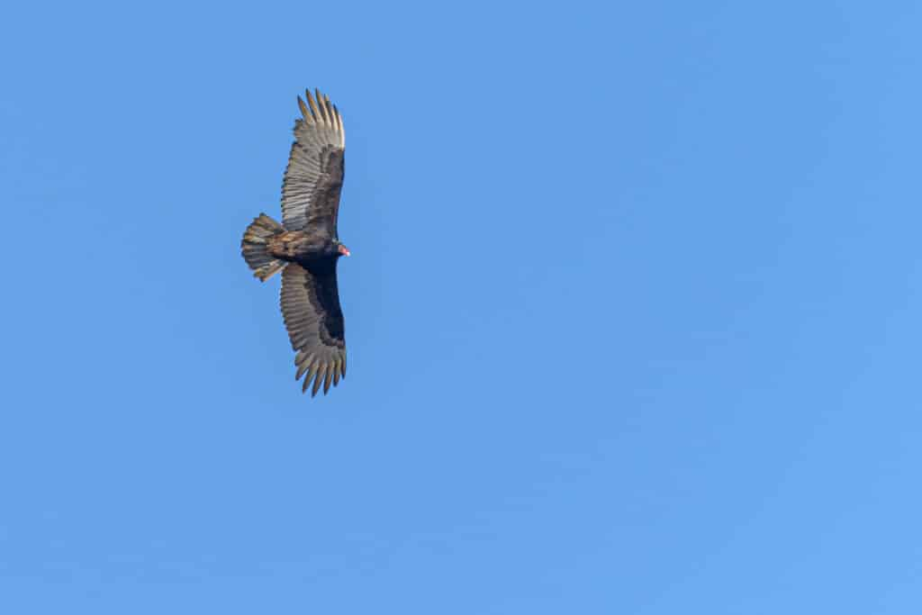 A turkey vulture soars in the blue skys near Evergreen, Alabama.