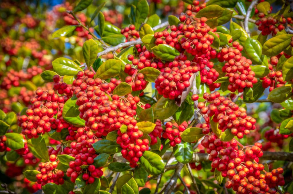 This is a closeup of Buford Holly Berries in front of the family home in Evergreen, Alabama.