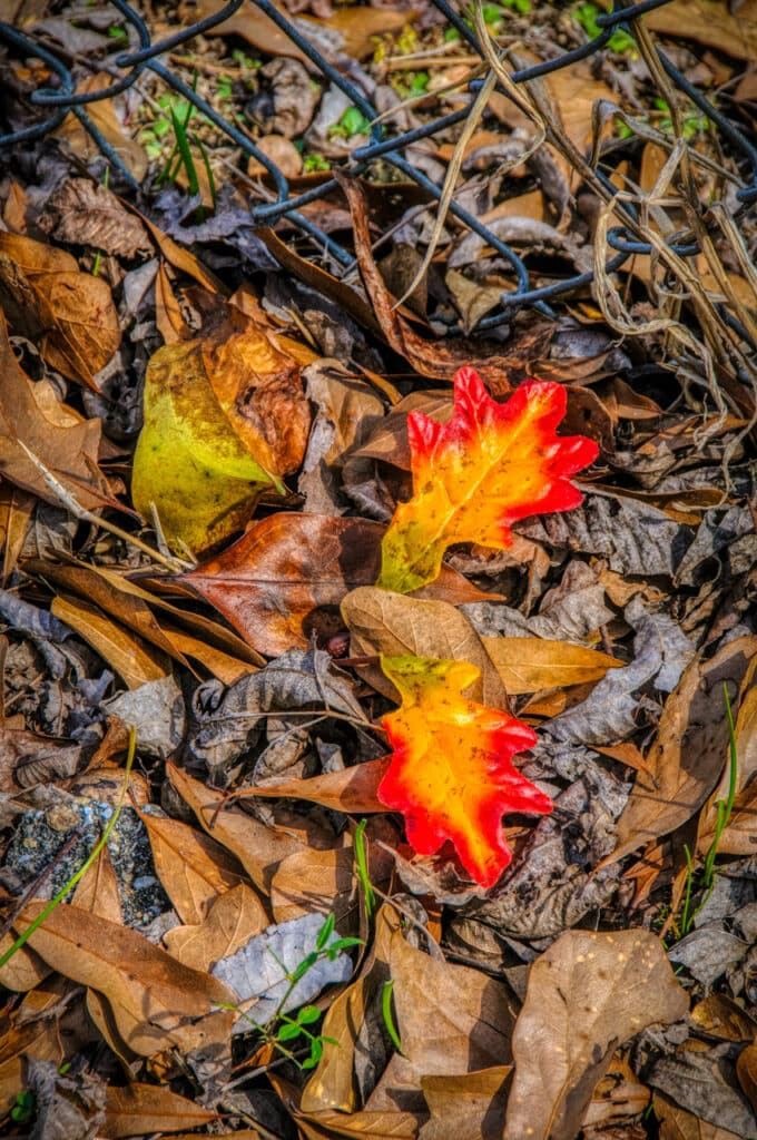 These colorful oak leaves stand out out from the brown vegetation in Evergreen, Alabama.