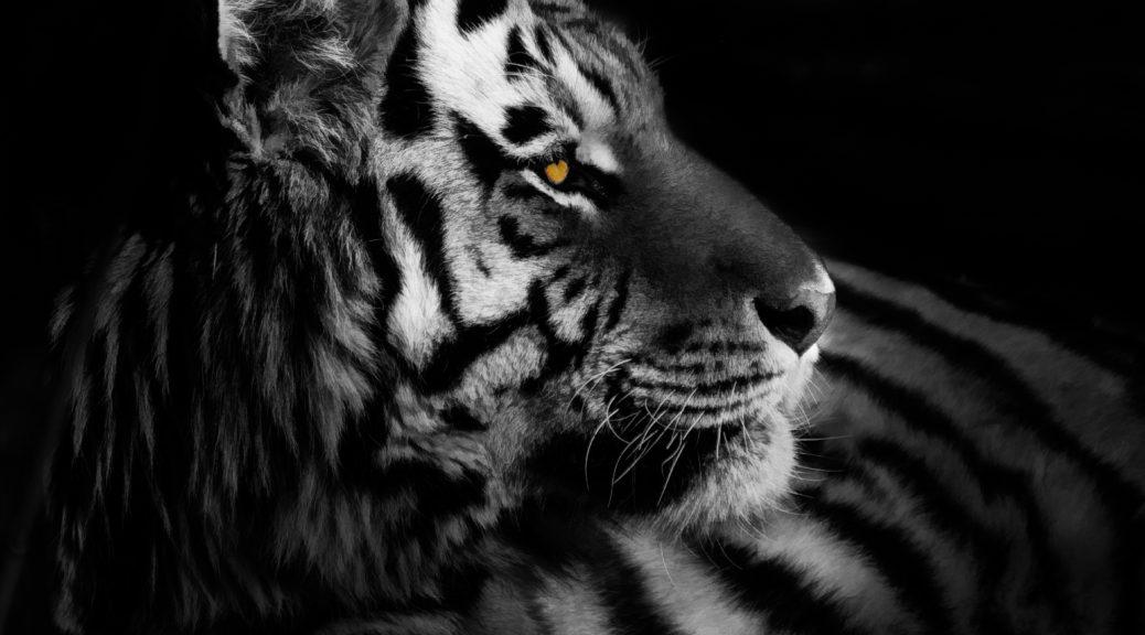Bengal Tiger in repose at the Denver Zoo