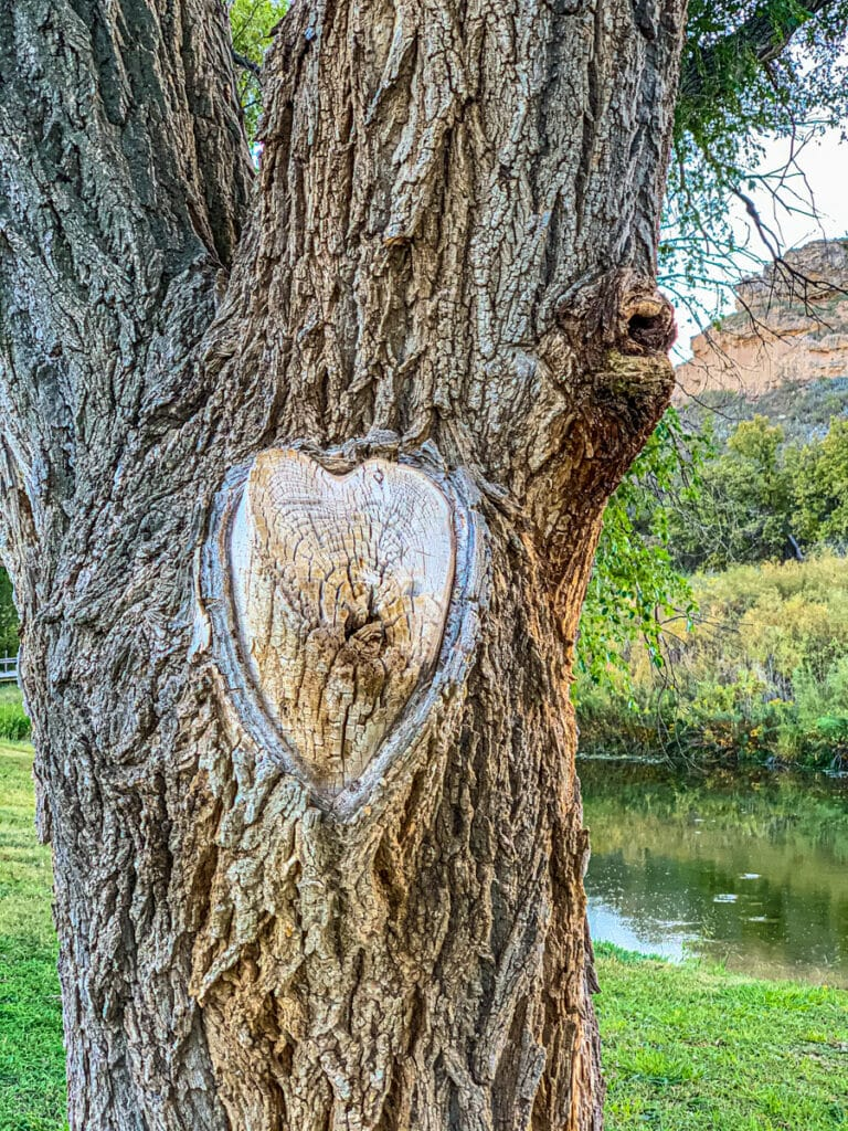 The scar from a sawn-off branch looks like a heart. This Cottonwood is located in Lake Scott State Park in Kansas.