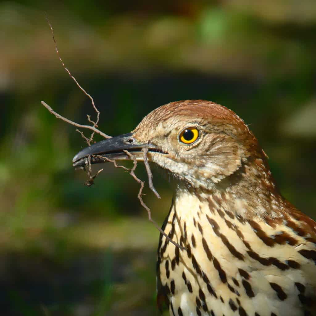"This brown thrasher is gathering material to add to or repair the nest. Thrashers are related to catbirds and mockingbirds. Their name may come from the fact they ""thrash"" the undergrowth looking for food."