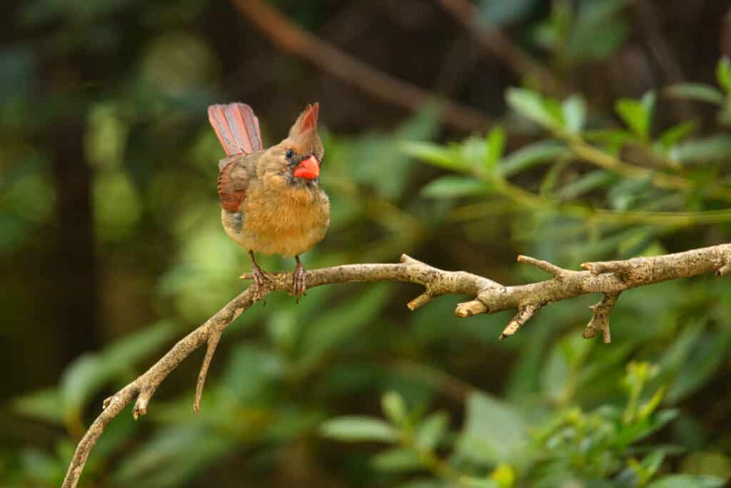 This female northern cardinal is awaiting her turn at our backyard feeder in Evergreen, Alabama.