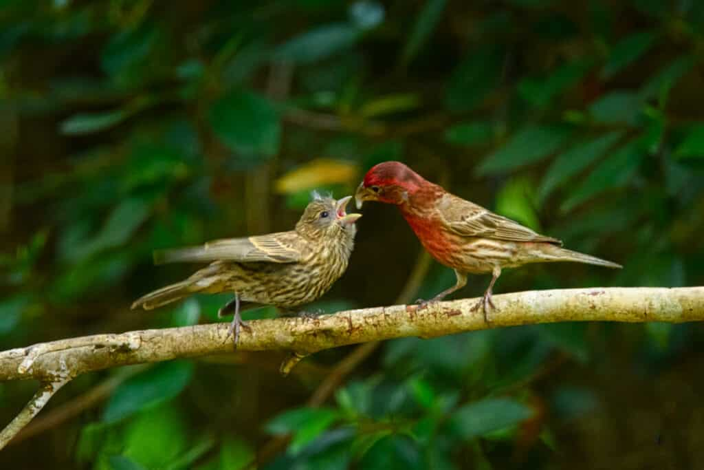 The male house finch feeds a female house finch during a courting display.