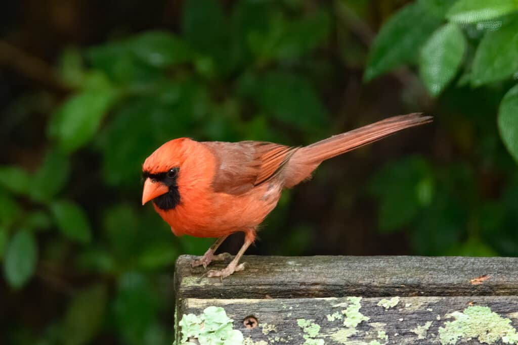 This male cardinal has spotted a tasty morsel near our backyard feeder in Evergreen, Alabama.