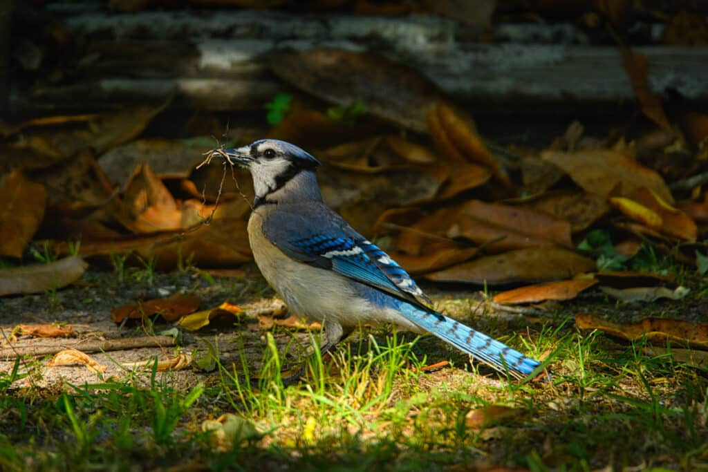 This Blue jay is holding nesting material in his long black beak. Blue jays are related to crows and ravens.