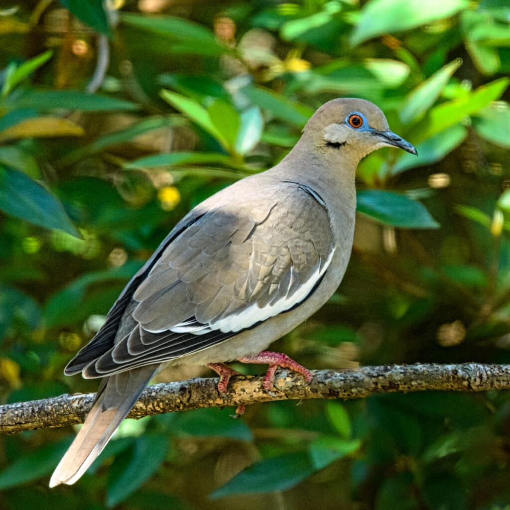 This closeup of a white-winged dove shows off the bright blue ring around the copper-colored eye.
