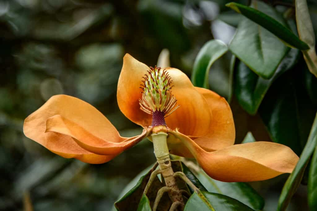 Southern magnolias are breath-taking when they first open. However, the blossom quickly oxidized and turns a coppery color before dropping to the ground. What remains is the magnolia cone.