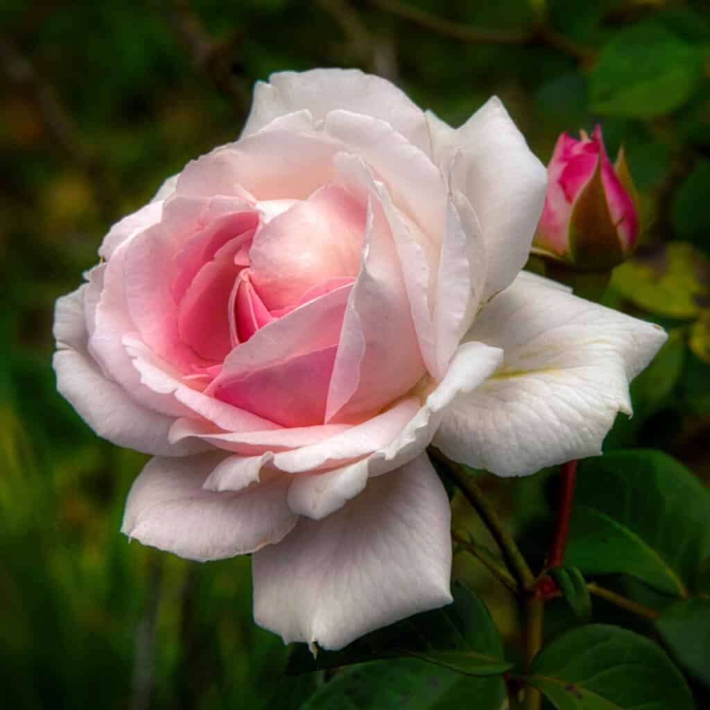 This lovely pink rose was growing along a street in Evergreen, Alabama.