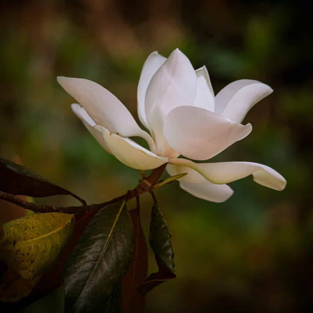 This lovely southern magnolia bloom has just opened. It will close overnight, then re-open and soon turn brown.