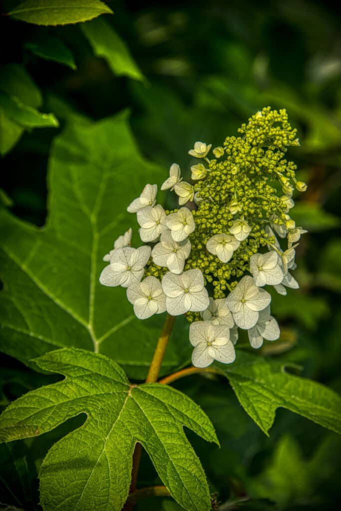 This Oak-leaf Hydrangea is just beginning to bloom. It is like most hydrangeas in that the bloom is long-lasting changes coloras before it turns brown.