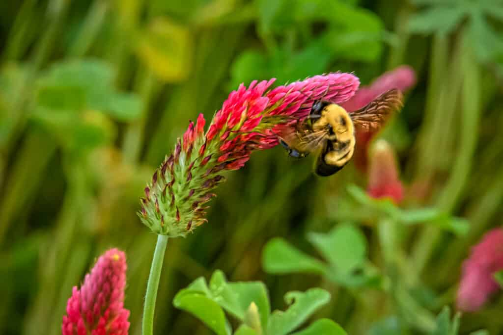 This bumblebee is harvesting pollen from this stalk of crimson clover. Crimson clover is used by organic farmers as a cover crop that imparts nitrogen when it is turned under.