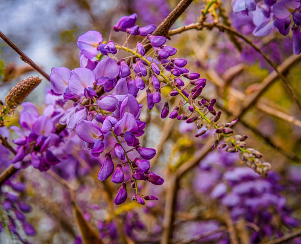Wisteria flowers bloom starting in late spring in Evergreem, Alabama.