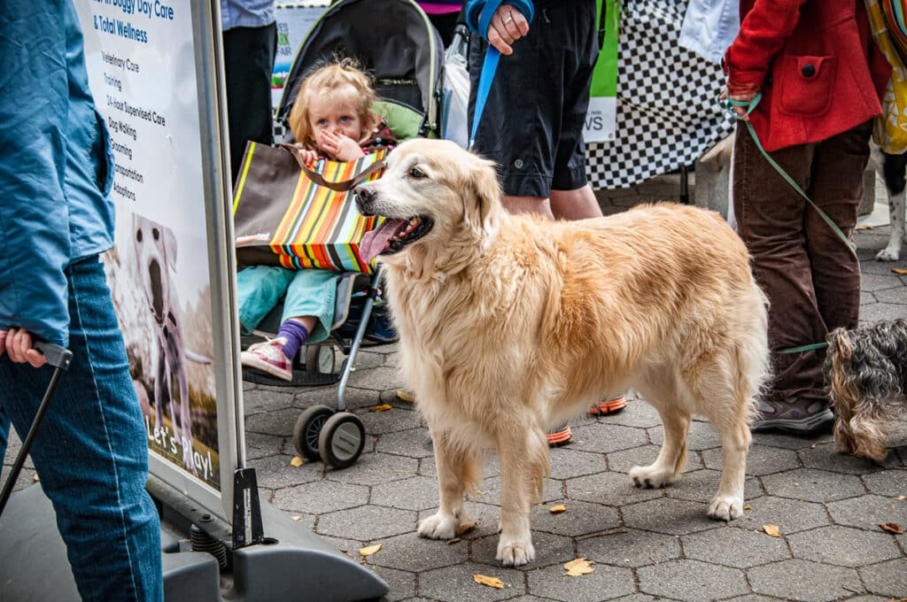 A golden retriever checks out the entertainment possibilities in Central Park, New York, NY.